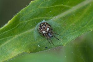 Brede Wielwebspin - Agalenatea redii